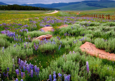 Wildflowers in the Big Horns
